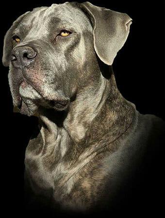 Dog Headshot on A Black Background